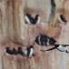 kortbekzeekoet-thick-billed-murre-29