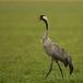 kraanvogel-common-crane-01
