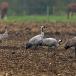 kraanvogel-common-crane-02