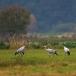kraanvogel-common-crane-04
