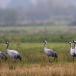 kraanvogel-common-crane-05