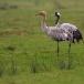 kraanvogel-common-crane-06