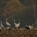 kraanvogel-common-crane-12