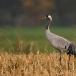 kraanvogel-common-crane-13