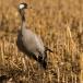 kraanvogel-common-crane-17
