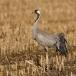 kraanvogel-common-crane-18