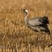 kraanvogel-common-crane-20