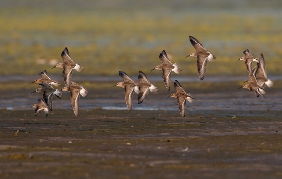 krombekstrandloper-curlew-sandpiper-01