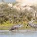 Krombekstrandloper-Curlew-Sandpiper-18
