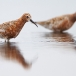 krombekstrandloper-curlew-sandpiper-10