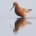krombekstrandloper-curlew-sandpiper-12