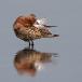krombekstrandloper-curlew-sandpiper-14