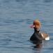krooneend-red-crested-pochard-01