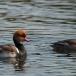 krooneend-red-crested-pochard-02