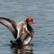 krooneend-red-crested-pochard-06