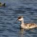 krooneend-red-crested-pochard-08