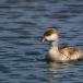 krooneend-red-crested-pochard-09