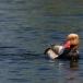 krooneend-red-crested-pochard-10