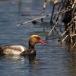 krooneend-red-crested-pochard-11