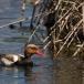 krooneend-red-crested-pochard-12