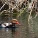 krooneend-red-crested-pochard-13