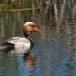 krooneend-red-crested-pochard-14