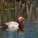 krooneend-red-crested-pochard-15