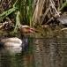 krooneend-red-crested-pochard-16