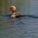 krooneend-red-crested-pochard-17