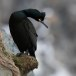 Kuifaalscholver-Common-shag-07