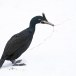 Kuifaalscholver-Common-shag-08