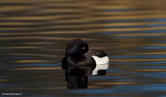 kuifeend-tufted-duck-13