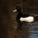 kuifeend-tufted-duck-01