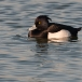 kuifeend-tufted-duck-02