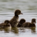 kuifeend-tufted-duck-07