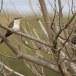 Kuifkoekoek - Great Spotted Cuckoo 02