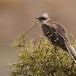 kuifkoekoek-great-spotted-cuckoo-01