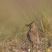 kuifleeuwerik-crested-lark-03