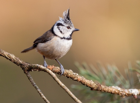 kuifmees-crested-tit-04