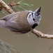 kuifmees-crested-tit-07