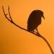 kwak-black-crowned-night-heron-01