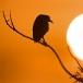 kwak-black-crowned-night-heron-02