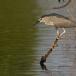 kwak-black-crowned-night-heron-08