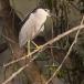 kwak-black-crowned-night-heron-09