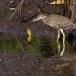 kwak-black-crowned-night-heron-10