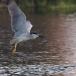 kwak-black-crowned-night-heron-12