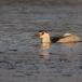 kwak-black-crowned-night-heron-14