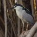 kwak-black-crowned-night-heron-15