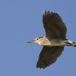 kwak-black-crowned-night-heron-21