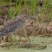 kwak-black-crowned-night-heron-23